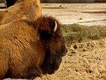 bison im zoo - foto: sabine