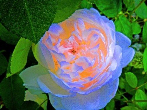 rose im wandel