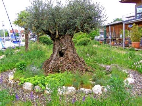 olivenbaum in biel